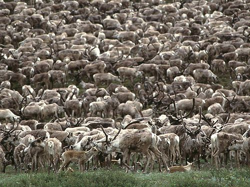 Caribou herd near Kiana, Alaska
