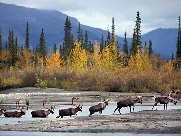 Caribou crossing Alatna River
