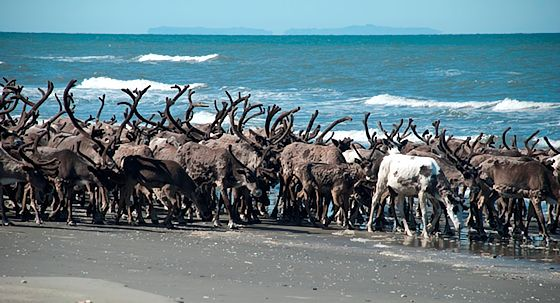 Reindeer Herd on the Seward Penninsula